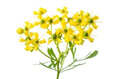 Herb of Grace. Flowers isolated on white royalty free stock images