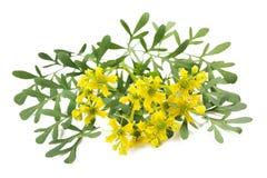 Herb of Grace Stock Photos
