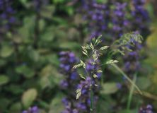 Grass blue flower blur background herb. Herb grass flower garden green blue color close-up outdoors day royalty free stock photography