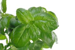 Herb green basil in flowerpot. On white background royalty free stock photography