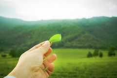 Herb, green tea, background, landscape. Close-up of green tea leaf to the sky Stock Photography