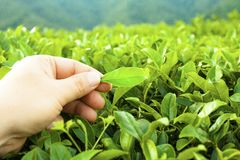 Herb, green tea, background, landscape. Close-up of green tea leaf to the sky Stock Photo