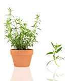 Herb Hyssop. Hyssop herb growing in a terracotta pot, with specimen leaf sprig, isolated over white background with stock photo