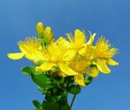 Herb - Klamath weed - St. John's wort Royalty Free Stock Image