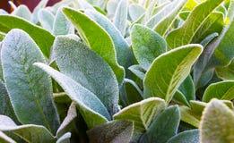 Herb Lambs-Ohr stockfoto