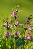 Herb Lamium purpureum. Flowers and grass in the meadow Stock Photo