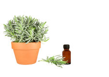 Herb Lavender Royalty Free Stock Photos