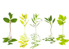Herb Leaf Abstract Royalty Free Stock Image
