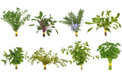 Herb Leaf Posy Selection. Of oregano, rosemary, lemon balm, parsley and sage and thyme varieties isolated over white background Stock Photography
