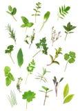 Herb Leaf Selection. Of parsley, lavender, sage, bay, mint, oregano, valerian, (vallium substitute) thyme, ladies mantle, spearmint, rosemary; chives, lemon stock images
