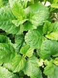 Herb lemon balm royalty free stock photos