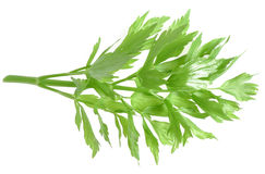 Herb lovage Royalty Free Stock Image