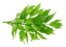 Herb  lovage Royalty Free Stock Photos