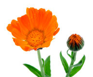 Herb marigold calendula folk medicine white Royalty Free Stock Photo