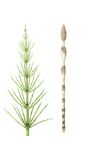 Herb medical  horsetail Royalty Free Stock Photography