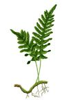 Herb medical lady fern Royalty Free Stock Image