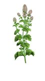 Herb medical Mint Royalty Free Stock Photos
