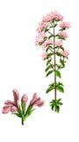 Herb medical sweet marjoram Royalty Free Stock Image