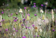 Herb Milk thistle Royalty Free Stock Photo