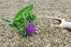 Herb milk thistle silybum marianum Royalty Free Stock Photos