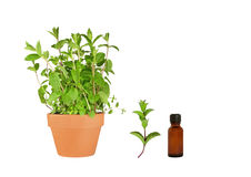 Herb Mint Royalty Free Stock Photography