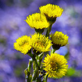 Herb Mother and stepmother (Tussilago) Stock Photo