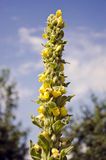 Herb mullein flower Verbascum densiflorum in summer Stock Photography