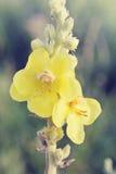 Herb mullein, tinted Stock Image