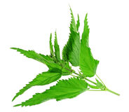 Herb - nettle Royalty Free Stock Photography