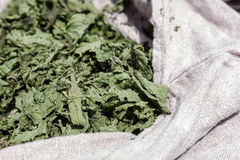 Herb nettle Royalty Free Stock Photo