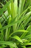 Herb Pandan Pandanus odorus Ridl. Thai herb green Pandan plant Pandanus odorus Ridl royalty free stock image