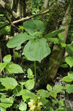 Herb Paris Stock Image