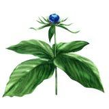 Herb Paris Berry - quadrifolia. Rare Woodland Plant Stock Photos