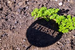 Herb parsley sign. shadow of parsley sign on the garden ground. stock photo