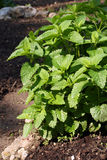 Herb permint. Permint herb in the corner of the garden Royalty Free Stock Photography