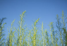 Herb plant (Thai name is Sam-sip). On blue sky background Royalty Free Stock Image