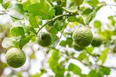 Herb plants, Bergamot, green kaffir lime on tree. Herb plants, bergamot, green kaffir lime on tree, among bright sunlight, on green leaves blurred background royalty free stock photos
