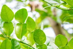 Herb plants, Bergamot, Kaffir lime leaves on tree. Herb plants, Bergamot, Kaffir lime leaves on tree, among bright sunlight, on green leaves blurred background royalty free stock photos