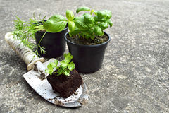 Herb plants in pots. Various herb plants in pots stock images