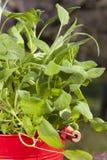 Herb pot with oregano Stock Photo