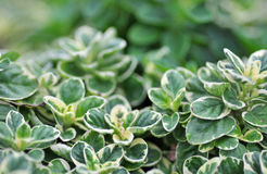 A herb pot of organic variegated orgegano Royalty Free Stock Photos