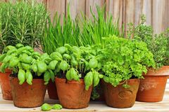 Herb pots in garden royalty free stock images