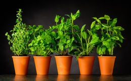 Herb in Pottery Pots on Dark Background. Green Herbs in Pottery Pots. Culinary Oregano, Parsley, Mint, Sage and Basil Growing Royalty Free Stock Image