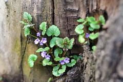 A herb with purple flowers and green leaves grows near the trunk of a tree. royalty free stock image