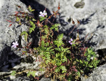 Herb Robert Flower - Geranium robertianum Stock Image