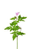 Herb Robert (Geranium robertianum). Colorful and crisp image of herb Robert (Geranium robertianum stock photo