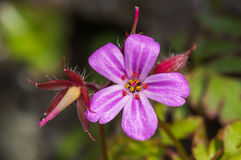 Herb Robert (Geranium robertianum) Stock Images
