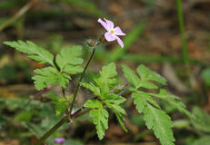 Herb-robert - Geranium robertianum Stock Photography