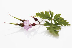 Herb robert (Geranium robertianum, Robertiella robertiana) Royalty Free Stock Photo