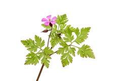 Herb Robert. Geranium robertianum, wild flower and foliage isolated against white Royalty Free Stock Photo